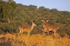 Un macho adulto de los ciervos comunes Fotos de archivo libres de regalías