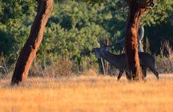 Un macho adulto de los ciervos comunes Foto de archivo libre de regalías