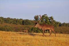 Un macho adulto de los ciervos comunes Imagen de archivo libre de regalías