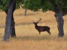 Un macho adulto de los ciervos comunes Imagen de archivo