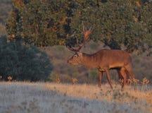 Un macho adulto de los ciervos comunes Fotografía de archivo libre de regalías