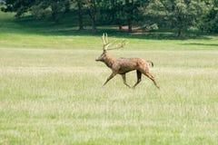 Un macho de los ciervos comunes que corre a través de un campo Fotos de archivo libres de regalías