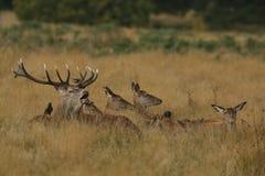 Un macho de los ciervos comunes y un x28 que gritan; Elaphus& x29 del Cervus; rodeado por sus hinds que colocan en la hierba Foto de archivo libre de regalías