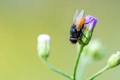 Un macro colpo della mosca sul fiore porpora immagini stock libere da diritti