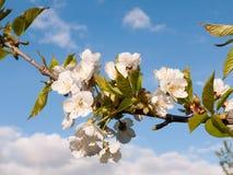 Un macro colpo durante il giorno dei capolini del fiore della mela di quercia sopra Immagini Stock Libere da Diritti