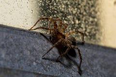 Un macro d'un globe Weaver Spider sur un châssis de fenêtre industriel humide de style Photo libre de droits