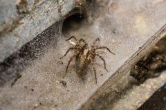 Un macro d'un globe Weaver Spider sur un châssis de fenêtre industriel humide de style Image stock