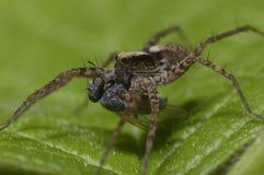 Un macro tir d'une araignée de loup, Lycosidae, mangeant une mouche images stock