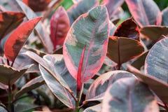 Un macro tir des feuilles rouges de nouveau ficus de croissance photographie stock libre de droits