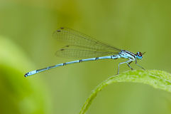Un macrophotography de libellule bleue Photo libre de droits