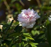 Un Mademoiselle Cecile Brunner pâle - amoureux rose Rose de polyantha Photos stock