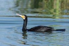 Un maggior cormorano in lago nella mattina fotografia stock