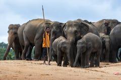 Un mahout sta con un gregge degli elefanti all'orfanotrofio dell'elefante di Pinnewala (Pinnawela) nello Sri Lanka centrale Fotografia Stock