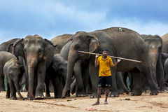 Un mahout sta con un gregge degli elefanti all'orfanotrofio dell'elefante di Pinnewala (Pinnawela) nello Sri Lanka centrale Immagine Stock Libera da Diritti