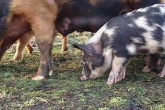 Un maiale Fotografia Stock