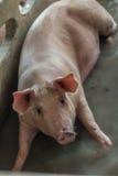 Un maiale Immagine Stock