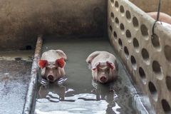 Un maiale Fotografia Stock Libera da Diritti