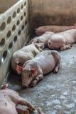Un maiale Immagini Stock Libere da Diritti