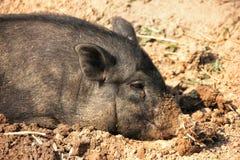 Un maiale cammina nella via immagine stock libera da diritti