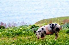 Un maiale chiazzato in wildflowers Immagine Stock Libera da Diritti
