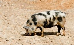 Un maiale macchiato dell'azienda agricola Fotografia Stock Libera da Diritti