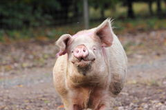 Un maiale maschio Immagine Stock Libera da Diritti