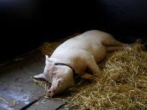 Un maiale situantesi. Fotografia Stock