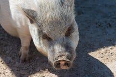 Un maiale sveglio della pancia di vaso immagini stock libere da diritti
