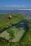 Un main-d'œuvre féminine avec le grand chapeau de paille dû à la chaleur extrême rassemblant l'algue à transformer en casse-croût Photos stock