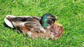 Un Mallard les prennent un bain de soleil sur la liberté d'herbe verte de vie images libres de droits