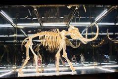 Un mamut lanoso sellado en un caso de cristal Imagen de archivo