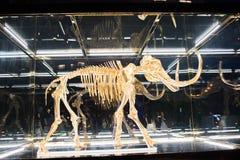 Un mamut lanoso sellado en un caso de cristal Imagenes de archivo