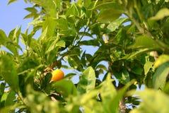 Un mandarino Fotografie Stock