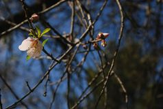 Un mandorlo in fiore nella valle verde Fotografia Stock