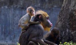 Un mandril del bebé con su madre foto de archivo
