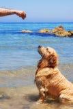 Un manipulateur formant un golden retriever à la plage Image stock