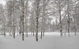 Un manojo de abedules en la nieve Foto de archivo