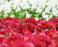 Un manojo de barbatus dulce de William Dianthus florece, rojo, rosa Fotografía de archivo
