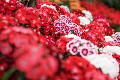 Un manojo de barbatus dulce de William Dianthus florece, rojo, rosa Imagen de archivo