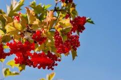 Un manojo de bayas jugosas rojas foto de archivo libre de regalías
