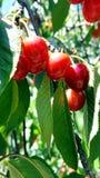 Un manojo de cerezas rojas maduras en un cerezo Fotografía de archivo libre de regalías