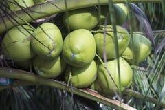 Un manojo de cocos verdes jovenes en una palmera Fotos de archivo libres de regalías