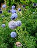 Un manojo de crecimiento de flores de Echinop en un jardín Imágenes de archivo libres de regalías