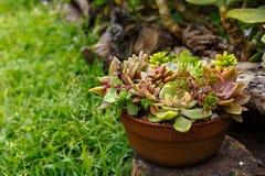Un manojo de diversos succulents plantados en un pequeño pote Imagen de archivo libre de regalías