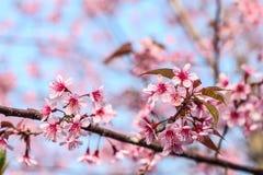 Un manojo de flor de Sakura con sol de la mañana Imagenes de archivo