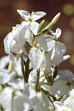 Un manojo de flores blancas hermosas Foto de archivo libre de regalías