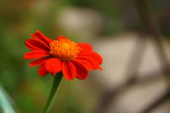 Un manojo de fondo borroso anaranjado del girasol mexicano de los pétalos imagen de archivo
