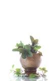 Un manojo de menta fresca de la primavera en un florero de madera Fotografía de archivo