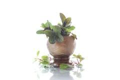 Un manojo de menta fresca de la primavera en un florero de madera Imagen de archivo libre de regalías