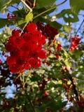 un manojo de pasas rojas cuelga en una rama Imagenes de archivo